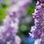 lila · orgona · virágok · közelkép · köteg · tavasz - stock fotó © taden