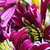 violeta · crisantemo · flor · superior · vista · aislado - foto stock © taden