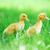 üç · kabarık · civciv · yeşil · ot · çim · çocuk - stok fotoğraf © taden
