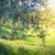 de · oliva · árboles · Toscana · Italia · puesta · de · sol · sol - foto stock © taiga