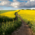 ground road in flowering field beautiful countryside stock photo © taiga