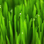 fresh green wheat grass with drops macro background stock photo © taiga