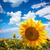 giallo · campo · girasoli · luminoso · cielo · blu · nubi - foto d'archivio © taiga