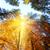 duży · jesienią · klon · drzew · żółty · pozostawia - zdjęcia stock © taiga