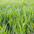 fresh grass with drops of dew   green ecology background stock photo © taiga