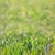fresche · verde · grano · erba · gocce · bokeh - foto d'archivio © taiga