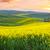 vidék · út · arany · mező · elképesztő · citromsárga - stock fotó © taiga