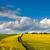 dziedzinie · świeże · kwiaty · Błękitne · niebo · piękna · żółte · kwiaty - zdjęcia stock © taiga