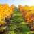 uvas · hermosa · paisaje · frutas · belleza - foto stock © taiga