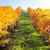виноград · красивой · пейзаж · фрукты · красоту - Сток-фото © taiga