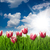 mooie · roze · tulp · bloemen · gras · blauwe · hemel - stockfoto © taiga