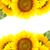 zonnebloemen · grens · witte · bloem · tuin · zomer - stockfoto © taiga