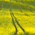 panoramic background of beautiful yellow green floral canola fie stock photo © taiga