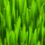 свежие · зеленый · пшеницы · трава · капли · роса - Сток-фото © taiga