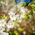 beautiful spring blossoming plum tree stock photo © taigi