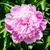 witte · bloem · natuur · tuin - stockfoto © taigi