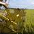 риса · урожай · фермы · Blue · Sky · небе · продовольствие - Сток-фото © tang90246