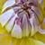 witte · kleur · dahlia · bloem · daisy · plant - stockfoto © tang90246