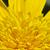 primer · plano · hermosa · amarillo · crisantemo · flores · jardín - foto stock © tang90246