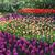 holland · tulipe · champs · tulipes · belle - photo stock © tannjuska