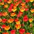 holland tulip fields stock photo © tannjuska