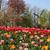 holland · veld · tulpen · prachtig · levendig · bloem - stockfoto © tannjuska