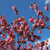 sakura in bloom stock photo © tannjuska