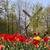 голландский · цветок · полях · Tulip · Голландии - Сток-фото © tannjuska