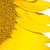 fiore · girasole · isolato · fiore · bianco · bianco · primavera - foto d'archivio © tarczas