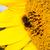 honingbij · bee · vleugels · honing · bug - stockfoto © tarczas