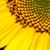 Geel · zonnebloemen · geïsoleerd · witte · zon - stockfoto © tarczas