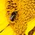 マクロ · 蜂 · 黄色の花 · 黄色 · 桜 · 昆虫 - ストックフォト © tarczas