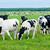 nyáj · szarvasmarha · tehenek · sivatag · tájkép · mező - stock fotó © tarczas