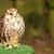 jovem · falcão · palheiro · animal · país · prado - foto stock © tarczas