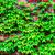 bluszcz · ściany · zielone · oddziału · szary - zdjęcia stock © tarczas