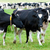 herd of cows on the pasture stock photo © tarczas