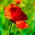 rosso · papaveri · fiori · campo · primavera · stagione - foto d'archivio © tarczas