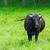 sığırlar · yeşil · ot · İrlanda · çim - stok fotoğraf © tarczas