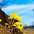 blooming coltsfoot flowers near road stock photo © tasipas