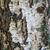 çam · havlama · model · çam · ağacı · doku - stok fotoğraf © tasipas