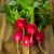 groot · bos · vers · ruw · radijs · groene - stockfoto © tasipas