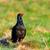 férfi · fekete · legelő · vad · madár · természetes - stock fotó © taviphoto