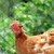 interesting hen stock photo © taviphoto