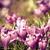 coloré · crocus · printemps · détail · pourpre · fleur · de · printemps - photo stock © taviphoto