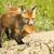 rouge · Fox · famille · illustration · couple · animaux - photo stock © taviphoto