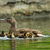 feminino · pato · lago · natação · superfície · feliz - foto stock © taviphoto