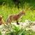 kettő · róka · természetes · élőhely · piros · tavasz - stock fotó © taviphoto