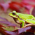 european green tree frog on leafs stock photo © taviphoto
