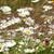 Ромашки · свежие · Полевые · цветы · весны · лет - Сток-фото © taviphoto