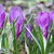 açafrão · flores · flor · jardim · fundo - foto stock © taviphoto